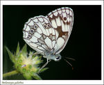 Title: Marbled White